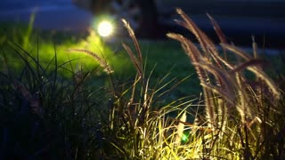 Purple decorated wheat at night. Landscape architect lighting design