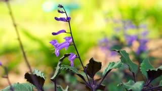 Purple flowers in a field moving camera