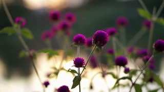 Purple Globe amaranth Flower by the river at sunset