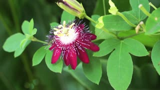 Purple magenta tropical flower. Exotic plant with red purple color