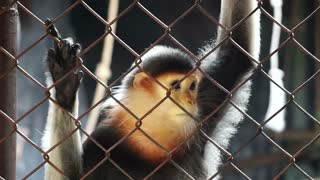 Red-shanked douc five colors endanger wild money in the cage. Rare animal of south east Asia