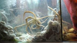 Sannakji hoe, Raw live baby octopus dish of Korean cuisine