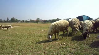 Sheep and goat farm close up, flock in different species and color