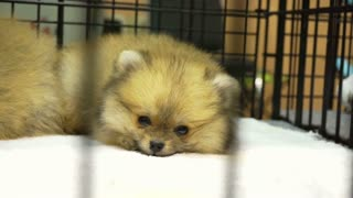 Small adorable of Pomeranian puppy dog in the cage. Innocent cute pet