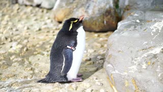 Small cute penguin standing around the rock. Erect Crested Penguin