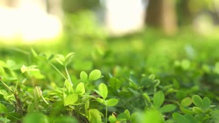 Soft focus on green clover covered plants background with morning sunlight. 4K video