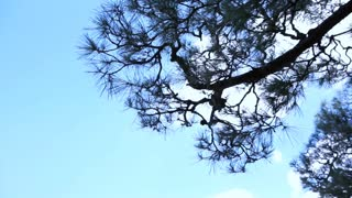 Tall pine green tree swing in the wind from bottom view with blue sky cloud background