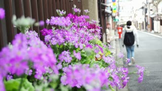 tourist walking along the street with purple flower on the side