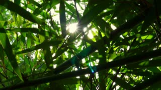 Tropical bamboo forest leaves and sunlight