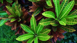 tropical plant red and green leaves Cordyline Fruticosa top view