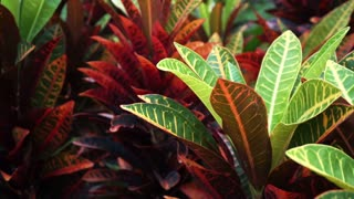 Tropical plant red and green leaves Cordyline Fruticosa