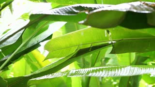 Tropical Rainfall in jungle forest. Green leaves