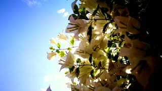 Tropical white Bougainvillea, paper flower with bright blue sky and sunshine background