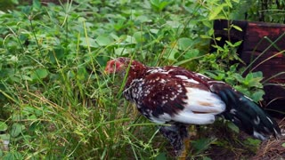 Video chicken on a free-range meadow. Chick walking along nature