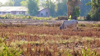 Video cows standing grazing grass in dry paddy field with lot of birds flying. Scene in South East Asia, Thailand