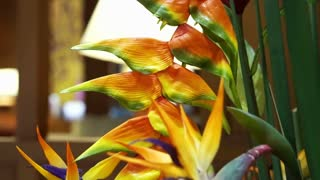 Video of Close up of strelitzia or bird of paradise flower