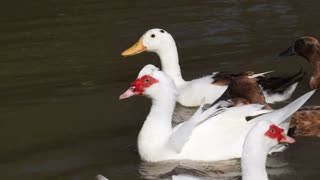 Video of different type of ducks swimming together. Red and white, brown big and small