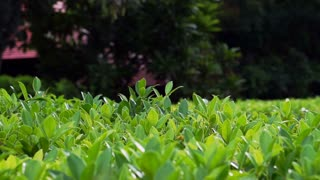 Video of green hedge, bush nature background