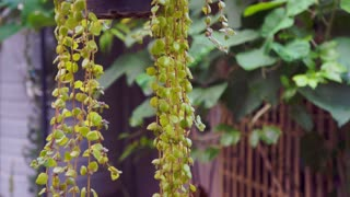 Video of Green plant hanging from the pot, urban garden and house decorate