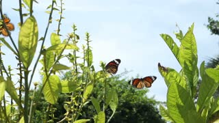 Video Of Monarch Butterflies Flying Around Plants