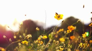 Video of Spring meadow field by the river, yellow flowers closeup against sunset sky
