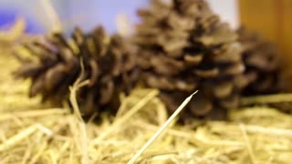 Video of Standard pine cone holiday season background