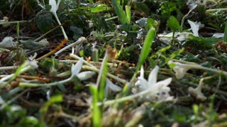 Video of white flower dropping on the grass floor. making a natural beautiful carpet