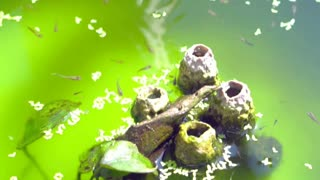 Video Small guppy fish swimming in green water. Decorated small fish pond