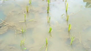 Video small rice field puddle. Start to grow young rice on watery paddy