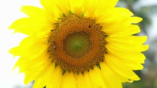 Video sunflower bloom and humble bee flying to collect pollen on blue sky background