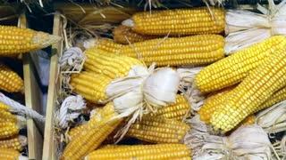 Video dried corns in market lay on hay autumn halloween