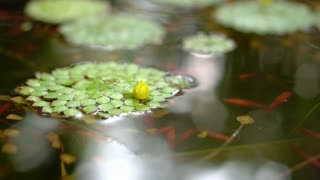 4K shot of beautiful special species of geometric water lilies leaf floating in pond with small fish swimming under