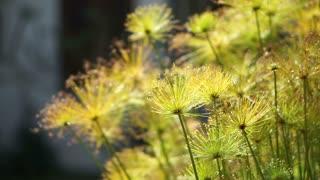 Aquatic plant papyrus tree plants in beautiful sunlight