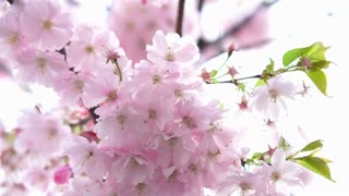 Blooming pink Japanese Sakura cherry blossoms with beautiful light background