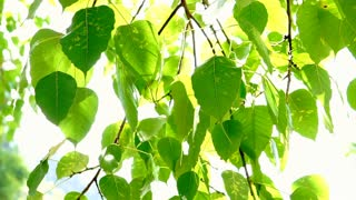 Bodhi tree leaves in sunlight with copy space