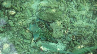 Camouflaged octopus under the turquoise blue green ocean