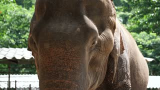 Close up shot of Asian Indian elephant. Beautiful creature in motion 4k