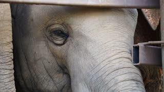 Close up shot of Asian Indian elephant calf eyes