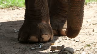 Elephant feet and trunk close up shot in slow motion. Four nails identical of Asian Indian species