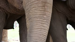 Elephant trunk close up slow motion eating food