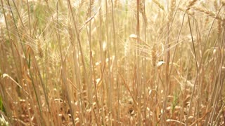 Green and golden barley field swaying in wind. Sunny clear sky day slow motion 4k
