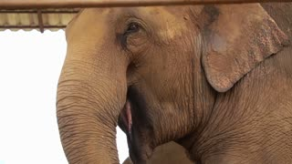Happy elephant eating using trunk pick food to mouth