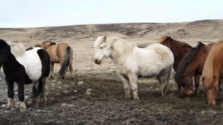 Herd of Icelandic horses beautiful calm animal. Iceland important Industrial livestock farming production