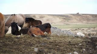 Herd of Icelandic horses beautiful calm animal. Iceland important Industrial livestock farming production
