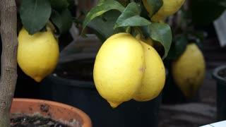 Lemon fruit grown on small tree in garden pot