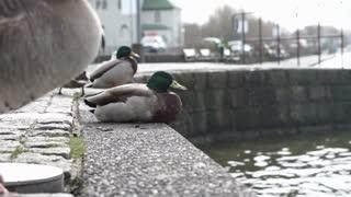 Mallard Duck at lake under rain slow motion