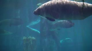 Manatees, sea cows swimming under blue water aquarium