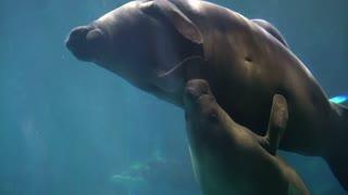 Manatees with kid, sea cows swimming under blue water aquarium