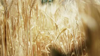 moving shot going through golden barley field, farm agriculture industry