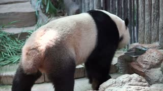 Panda walking around, endanger animal of China